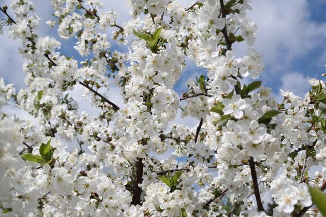 Kwitnące drzewka w pięknym zakątku Wielkopolski