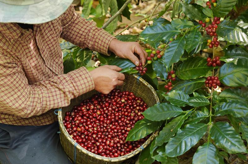 zbieranie ziaren kawy